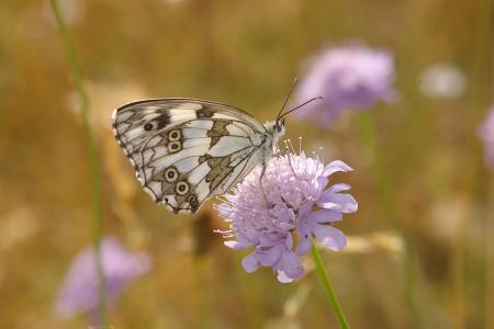nymphalidae: Buterfly Melanargia galathea