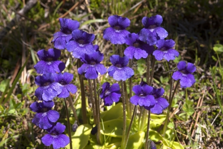 insectivorous: Pinguicola grandiflora Insectivorous plant of the Pirinees Catalonia Spain