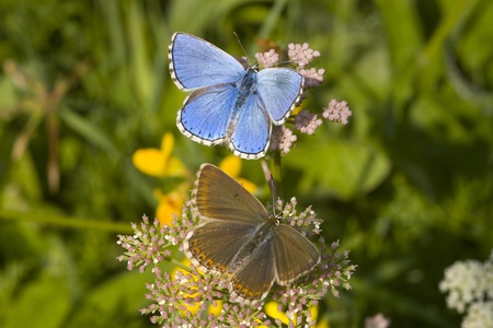 Bridal Couple these beautiful butterfly.Plebejus argus photo