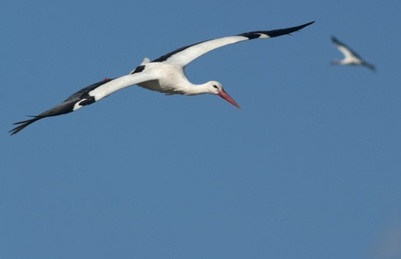 flying stork.Ciconia ciconia photo