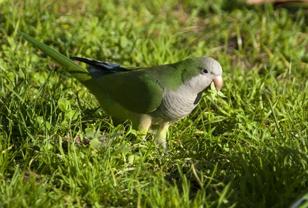 quaker: Myiopsitta monachus Quaker Parrot Stock Photo