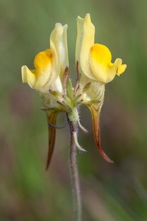 common snapdragon: Linaria supina,flowers