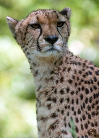 jubatus: Cheetah, Acinonyx jubatus  Stock Photo