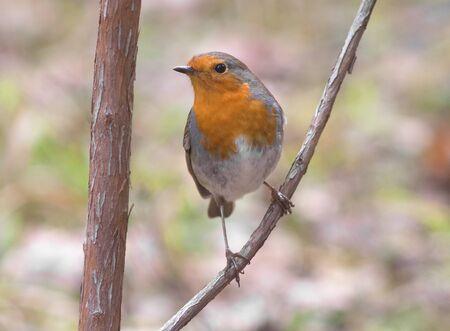 rubecula: Erithacus rubecula Robin