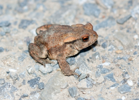 common hop: Common toad  Bufo bufo  Stock Photo