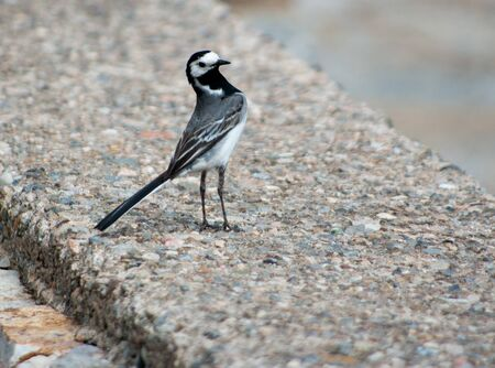 White wagtail Motacilla alba Stock Photo - 21408601