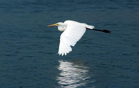 Photo of Great Egret  Ardea alba egretta  photo