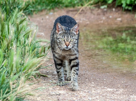 domestic cat walking through the vegetation photo