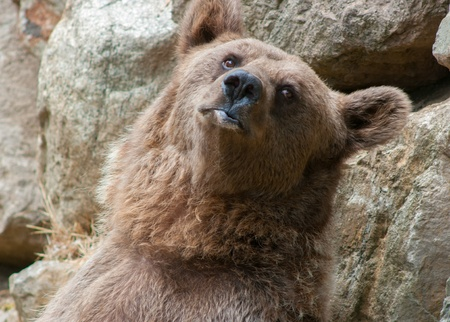 adult brown bear  Ursus arctos arctos Stock Photo - 21409096