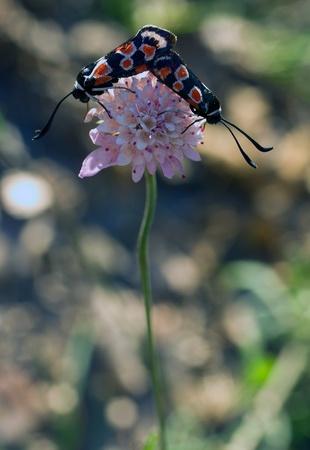 lonicerae: Zygaena occitanica copulating Huesca Spain