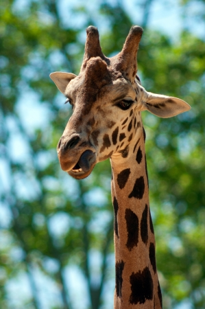 Girafe photo