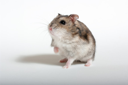 Hamster isolated in white