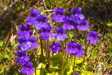 Pinguicola grandiflora.Insectivorous plant of the Pirinees.Catalonia.Spain