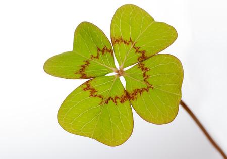 four leaf clover Stock Photo - 23939823