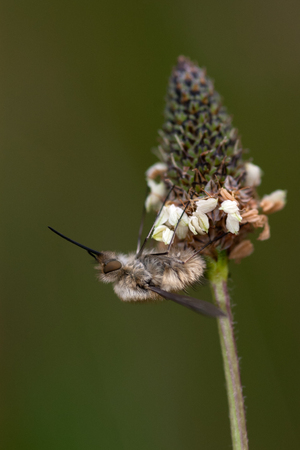 Bee fly (Bombylius major) sitting on an flower photo