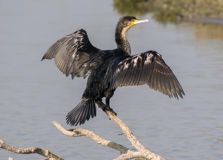 carbo: Phalacrocorax carbo