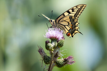 papilio: Yellow butterfly, Papilio machaon