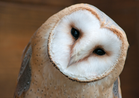 alba: Barn Owl, Tyto alba. Stock Photo