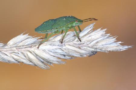 tufo: Chinche verde