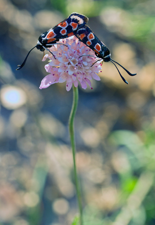 zygaena: Zygaena occitanica copulating.Huesca.Spain Stock Photo