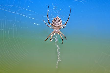argiope: Close view of a Lobed Argiope (Argiope lobata) spider.