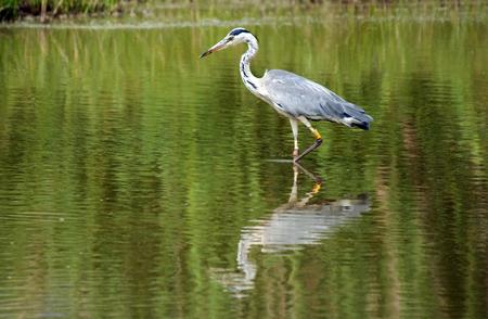 cinerea: Grey Heron - Ardea cinerea Stock Photo