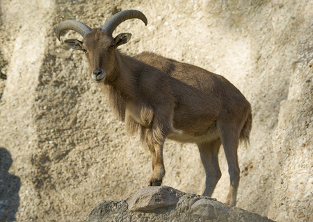 Barbary sheep.Ammotragus lervia