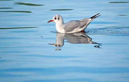 ridibundus: Larus ridibundus Black-headed Gull