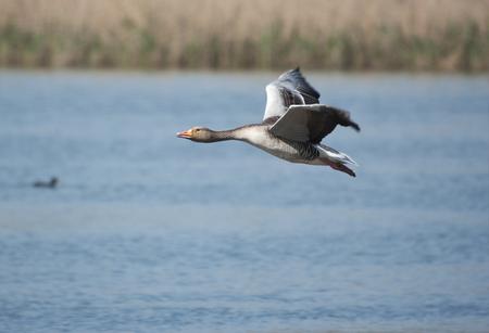 anser: Greylag geese (Anser anser) flying