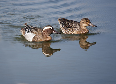 anas: Garganey Duck (Anas querquedula) Male and female Stock Photo