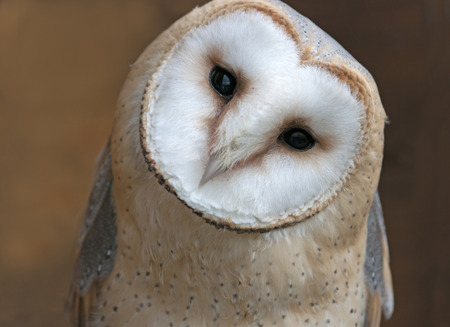 sowa: Zamknij się portret płomykówka (Tyto alba) Zdjęcie Seryjne
