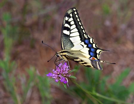 machaon: Old World Swallowtail (Papilio machaon)