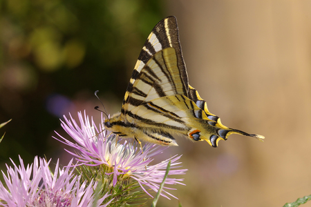 swallowtail: Scarce swallowtail or Pear-tree swallowtail Stock Photo