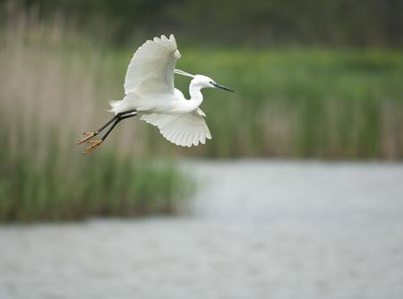 Little egret, Egretta garzetta, single bird in flight