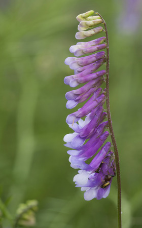 fodder: Fodder vetch in the nature