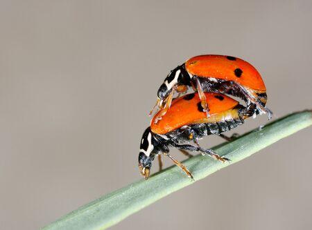 animal sex: ladybug couple Stock Photo