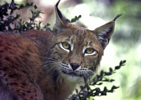 lince: Lince euroasiático - (Lynx lynx) Foto de archivo