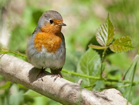 redbreast: Red robin Stock Photo