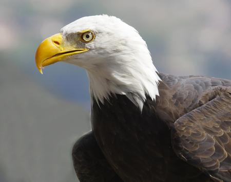 a large bird of prey: american eagle