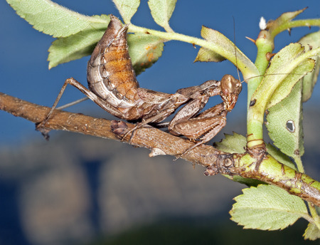 european mantis: The European Dwarf Mantis (Ameles spallanzania)