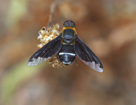 resolved: Bee fly Stock Photo