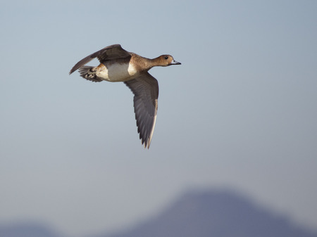 anas: Wigeon or anas penelope in flight