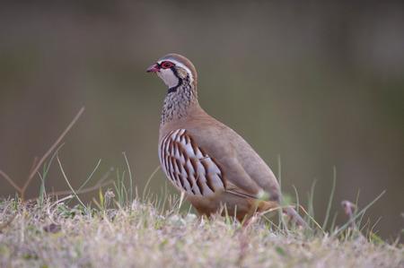rufa: Red-Legged Partridge (Alectoris rufa) Stock Photo