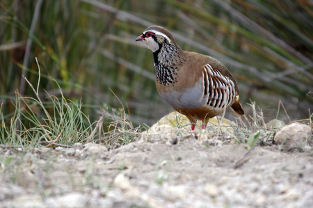rufa: Red-Legged Partridge (Alectoris rufa) Stock Photo