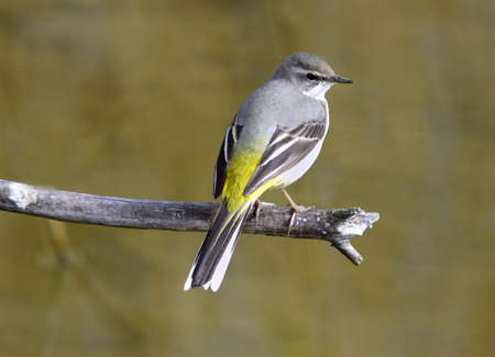 motacilla: Yellow wagtail (Motacilla flava) Stock Photo