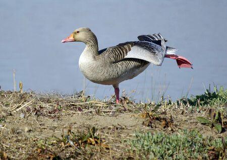 wil: Greylag goose,Anser anser