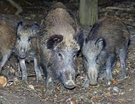 scrofa: Group of wild boars (Sus scrofa)