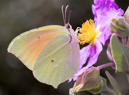 gonepteryx: Gonepteryx cleopatra, Cleopatra butterfly