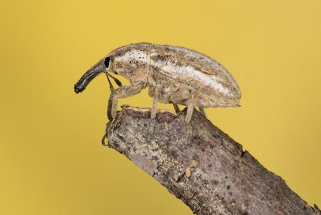 weevils: weevil