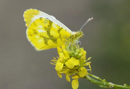 beautiful yellow butterfly on green background.Anthocharis belia Stock Photo
